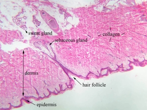 collagenous fibers