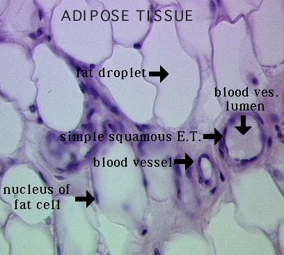 Elastic Tissue Labeled Connective Tissue – ...