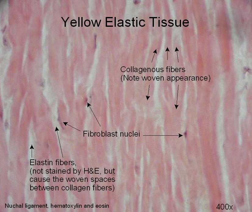 diagram of yellow elastic tissue diagram of human body tissue