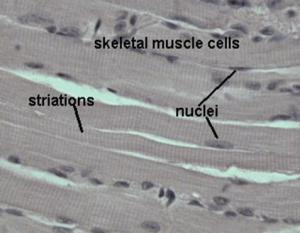 muslce tissue - skeletal